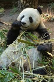 Pandas to Come Back After Nearly 30 Years to NYC?